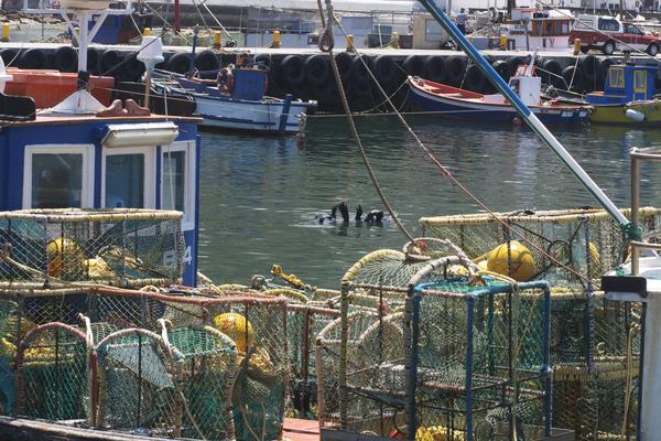 Kalk Bay Hafen, Kapstadt, Robben Tummeln sich zwischen den farbigen Booten
