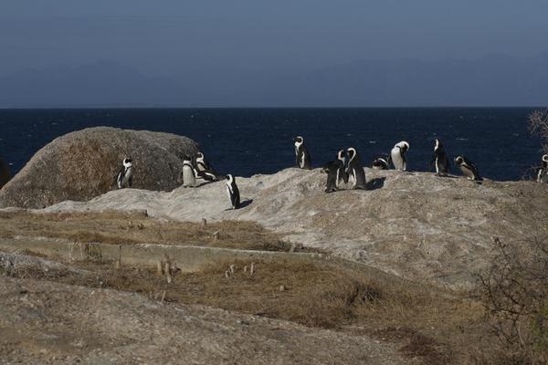 Pinguine am Boulders Beach bei Simonstown, Kapstadt