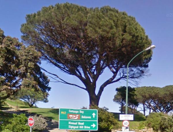 igumbi Baum. Kapstadt bei Kloof Nek Road